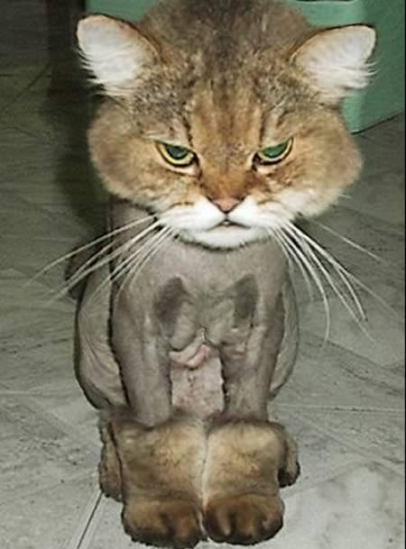 Kucing berdandan seperti anjing
