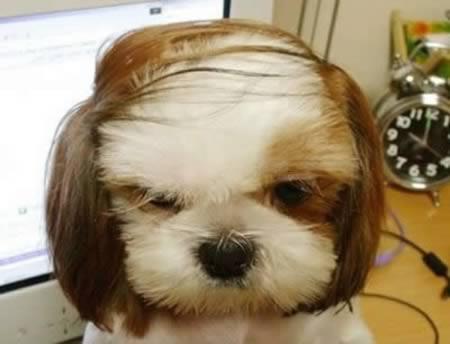 Anjing model rambut pria