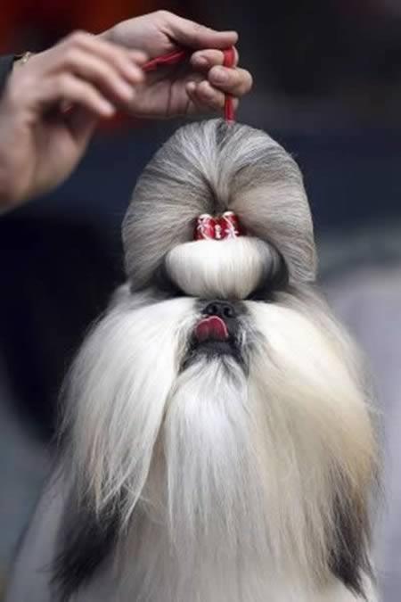 Anjing model rambut samurai