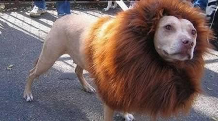 Anjing berdandan seperti singa