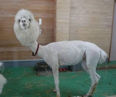 Ilama bergaya alpaca