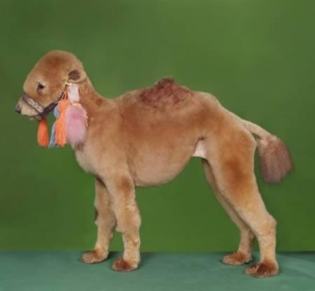 Unta berdandan seperti anjing
