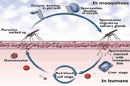 Daur hidup malaria